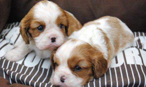 Cachorros Sol Blau